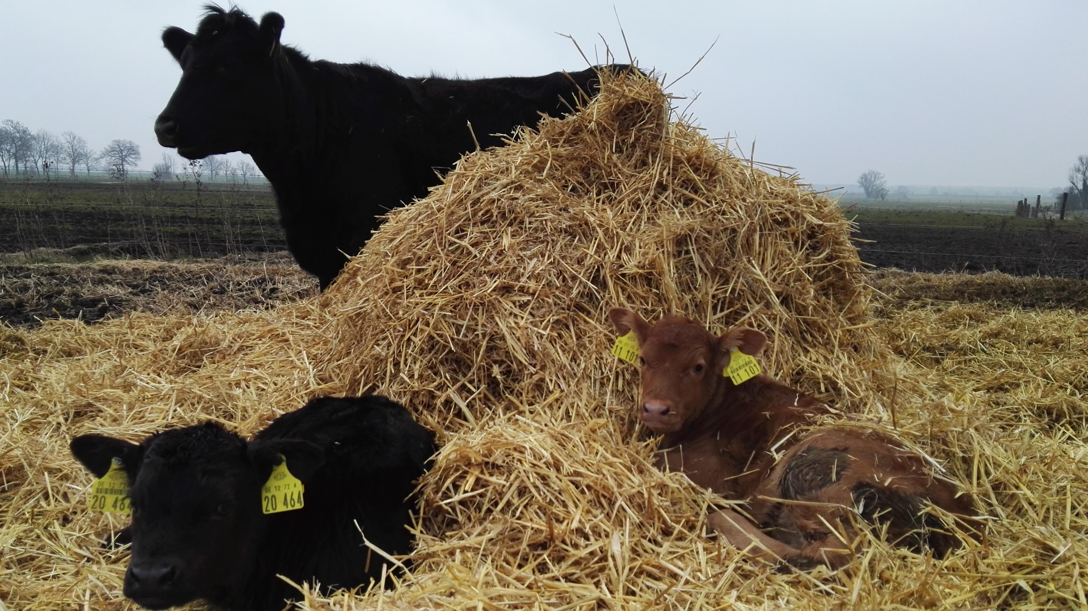 Mittagsschlaf im Stroh